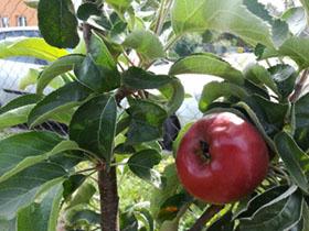 skolka-jablko